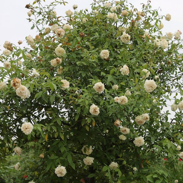 Hoa hồng cổ Bạch Xếp