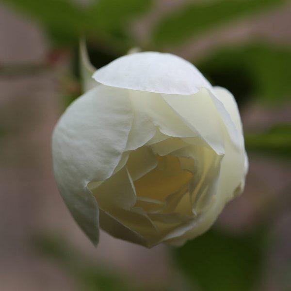 Hoa hồng cổ Bạch Ho