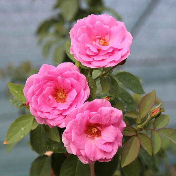 Hoa hồng cổ Son Môi