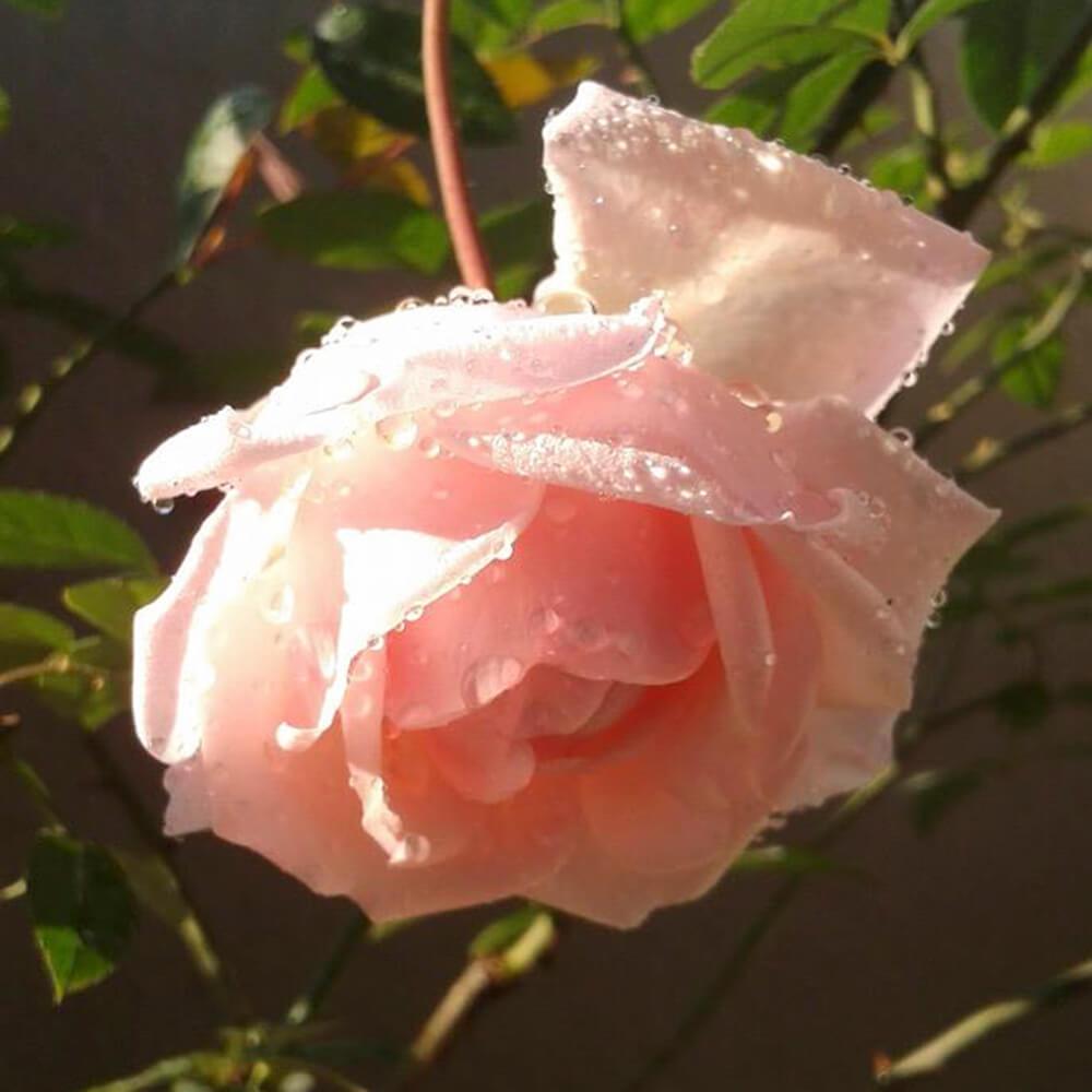 Kết quả hình ảnh cho hoa hồng phấn