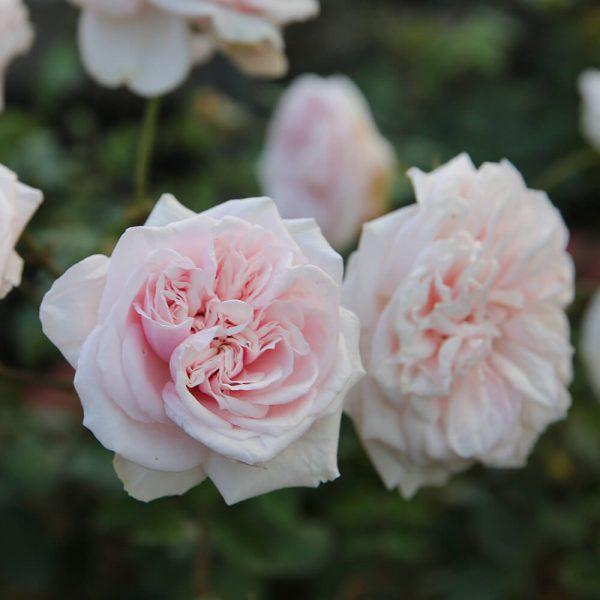 Hoa hồng cổ Bạch Vân Khôi
