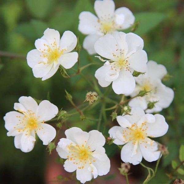 Hoa hồng ngoại Darlow's Enigma