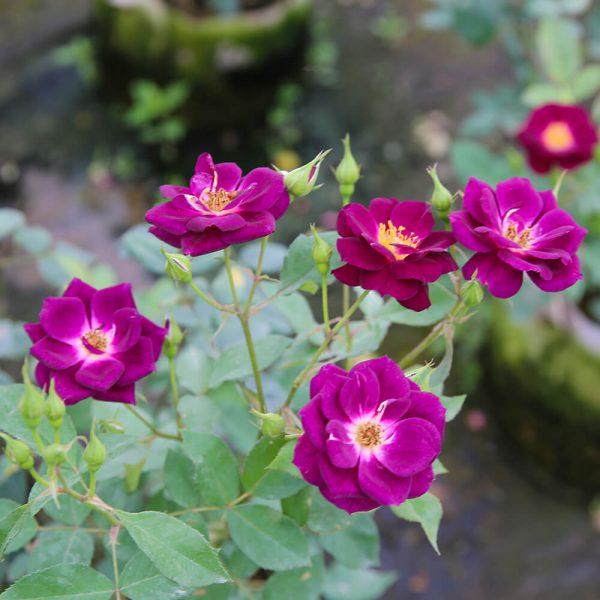 Hoa hồng ngoại Midnight Blue