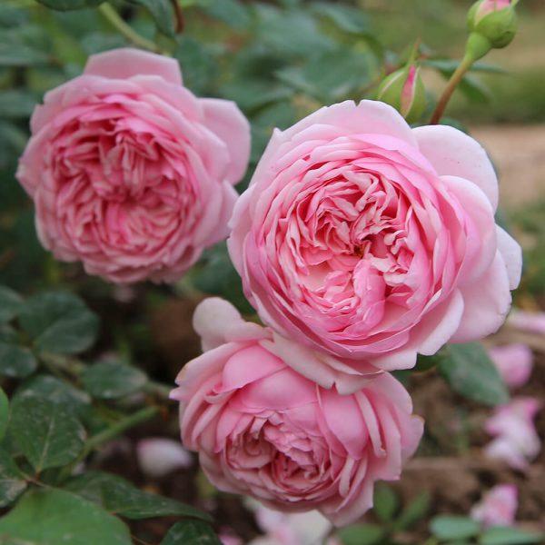 Bón phân dê cho hoa hồng