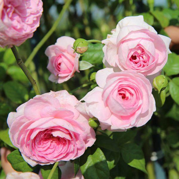 Hoa hồng ngoại Mon Coeur