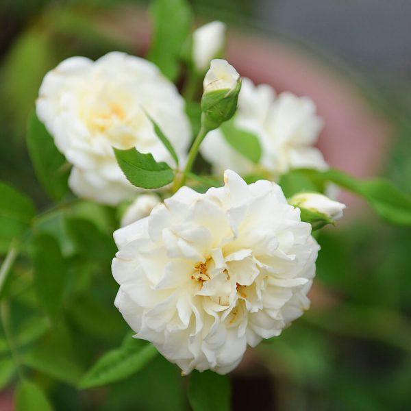 Hoa hồng leo Lamaque Climbing