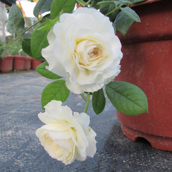 Hoa hồng ngoại Claire Austin rose