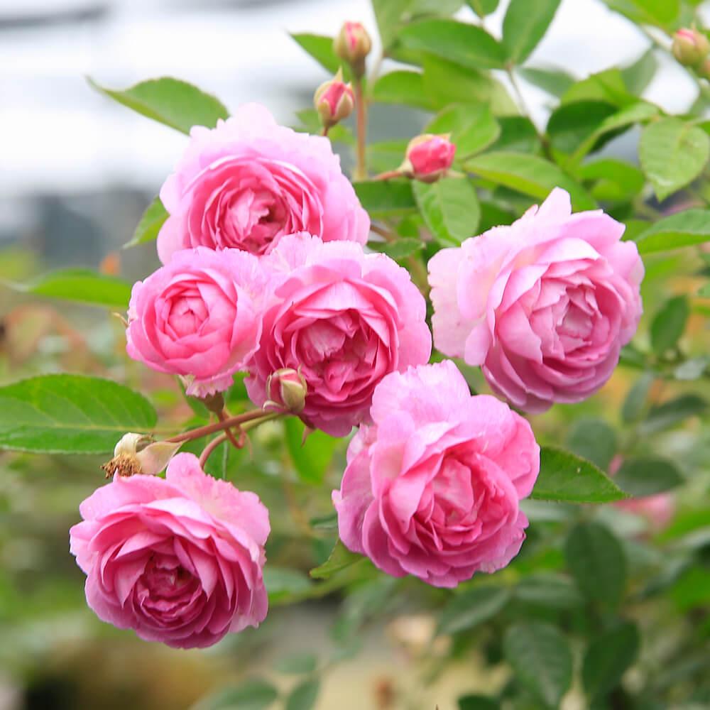 Hoa hồng Aunt Margy's rose – Top 10 giống hồng ngoại sai hoa nhất - Vườn Hoa Việt