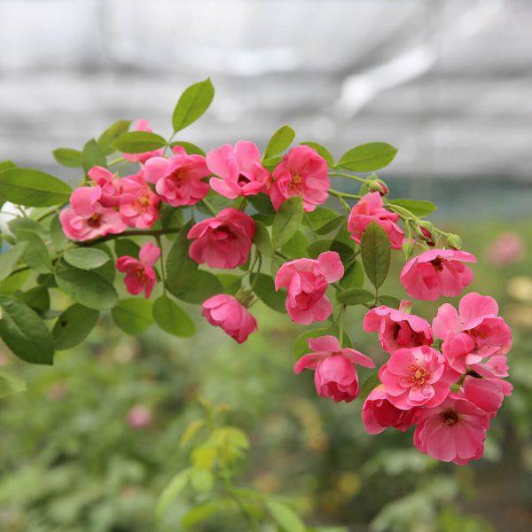 Hoa hồng ngoại Angela