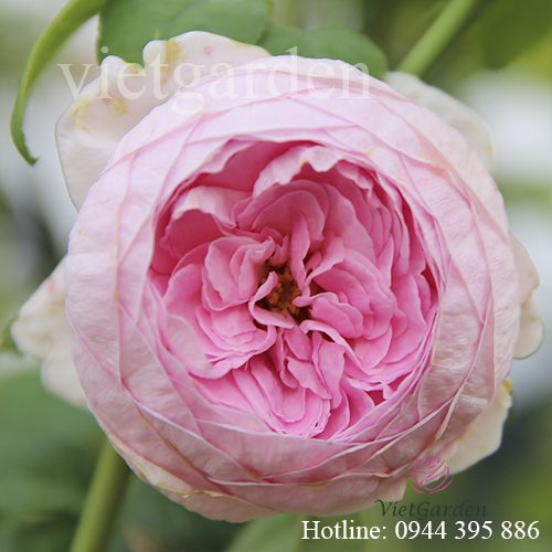 Thề rằng hồng leo Mon Coeur rose là giống hồng đẹp nhất ...