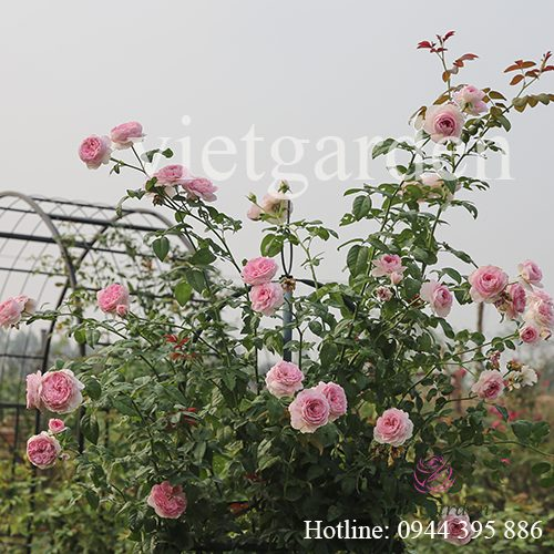 Hoa hồng leo Mon Coeur rose