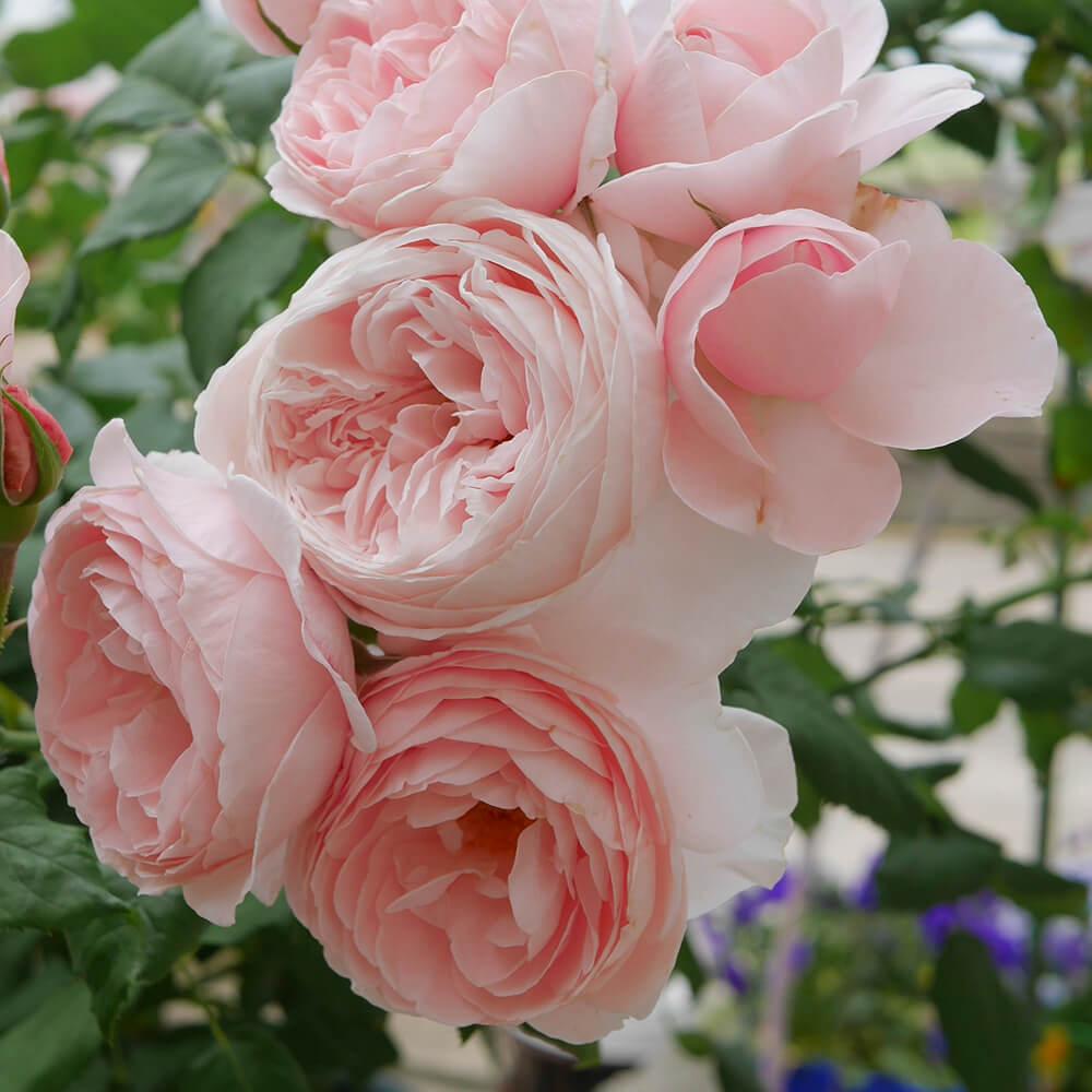 Hoa hồng leo Pháp được nhiều người ưa thích nhất - Vườn ...